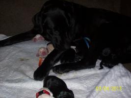 Süße Labradorwelpen, reinrassig