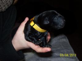 Foto 2 Süße Labradorwelpen, reinrassig