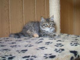 S��e Maine Coon Kitten