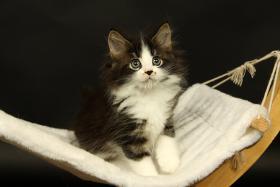Foto 2 Süße Maine Coon Kitten