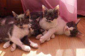 Süße Maine Coon Mix Kätzchen in grau/weiß