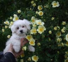 S�sse Malteser Hundebabys!