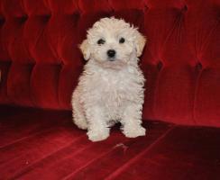 Foto 2 S�sse Malteser Hundebabys!