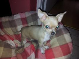 Foto 4 Süße Mini-Chihuahua-Welpen