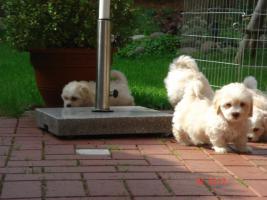 Foto 2 Süße Mini-Malteserwelpen