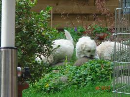 Foto 3 Süße Mini-Malteserwelpen