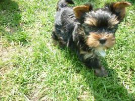 Foto 2 Süße Mini Yorkshire Terrier