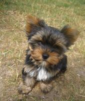 Foto 3 Süße Mini Yorkshire Terrier