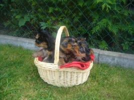 Foto 4 Süße Mini Yorkshire Terrier
