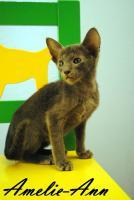 Süße OKH Kitten suchen neues Personal!