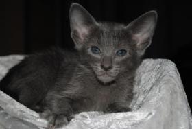 Foto 2 Süße OKH Kitten suchen neues Personal!