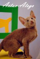 Foto 3 Süße OKH Kitten suchen neues Personal!