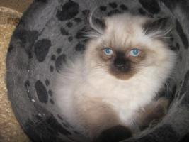Foto 3 Süße Perser