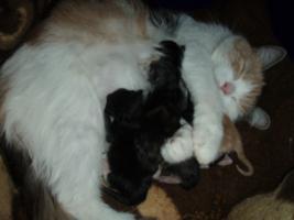 Süße Perser/Ragdoll Kitten ab ENDE FEBRUAR!!!