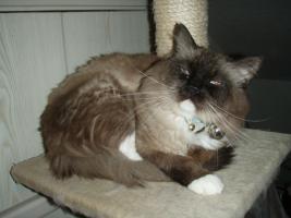 Foto 3 Süße Perser/Ragdoll Kitten ab ENDE FEBRUAR!!!