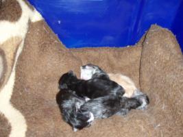 Foto 5 Süße Perser/Ragdoll Kitten ab ENDE FEBRUAR!!!