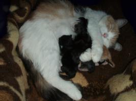 Foto 7 Süße Perser/Ragdoll Kitten ab ENDE FEBRUAR!!!