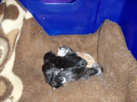 Foto 8 Süße Perser/Ragdoll Kitten ab ENDE FEBRUAR!!!