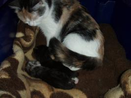Foto 2 Süße Perser/Ragdoll Kitten ab ENDE FEBRUAR!!!