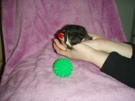 Foto 4 Süße Perser/Ragdoll Kitten ab ENDE FEBRUAR!!!