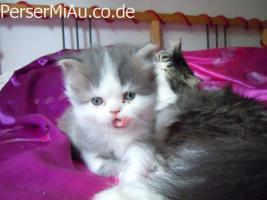 Foto 2 Süße Perserbabys mit Nase