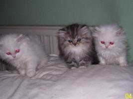 Süße Perserkätzchen suchen neues Zuhause