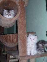 Foto 4 Süße Perserkätzchen suchen neues Zuhause