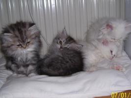 Foto 5 Süße Perserkätzchen suchen neues Zuhause