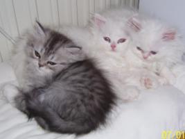 Foto 6 Süße Perserkätzchen suchen neues Zuhause