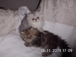 Foto 2 Süße Perserkätzchen suchen neues Zuhause