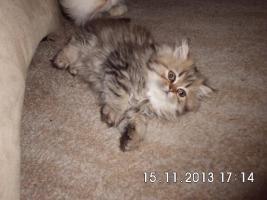Foto 3 Süße Perserkätzchen suchen neues Zuhause