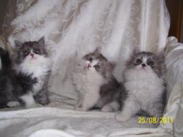 Süße Perserkitten suchen ein neues Zuhause