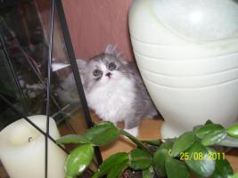 Foto 2 Süße Perserkitten suchen ein neues Zuhause