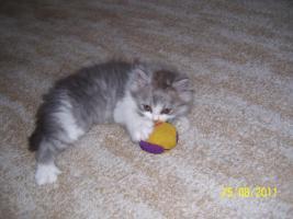 Foto 5 Süße Perserkitten suchen ein neues Zuhause
