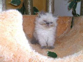 Süße Point-Kätzchen