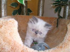 Foto 2 Süße Point-Kätzchen
