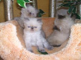 Foto 3 Süße Point-Kätzchen
