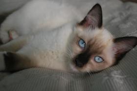 Süße Ragdoll Kitten