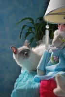 Foto 2 Süße Ragdoll Kitten