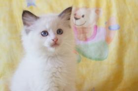Süße Ragdoll Kitten in chocolate