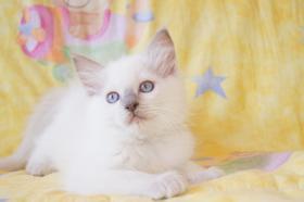 Foto 2 Süße Ragdoll Kitten in chocolate