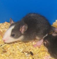 S��e Rattenbabys