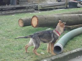 S�sse Sch�ferhundwelpen suchen ein zu Hause