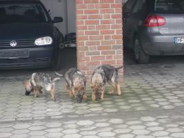 Foto 2 S�sse Sch�ferhundwelpen suchen ein zu Hause