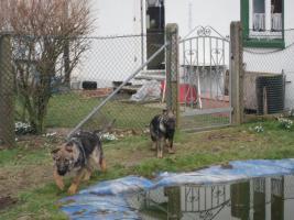 Foto 4 S�sse Sch�ferhundwelpen suchen ein zu Hause