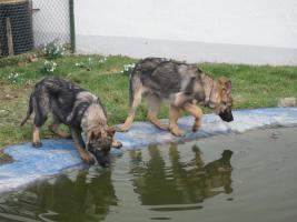 Foto 5 S�sse Sch�ferhundwelpen suchen ein zu Hause