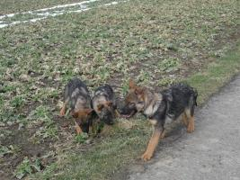 Foto 6 S�sse Sch�ferhundwelpen suchen ein zu Hause
