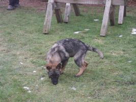 Foto 9 S�sse Sch�ferhundwelpen suchen ein zu Hause