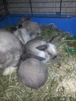 Foto 2 Süsse Schlappohrhasen Jungtiere
