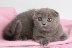 Süße Scottish Fold und Britisch Kurzhaar(BKH) Kitten!